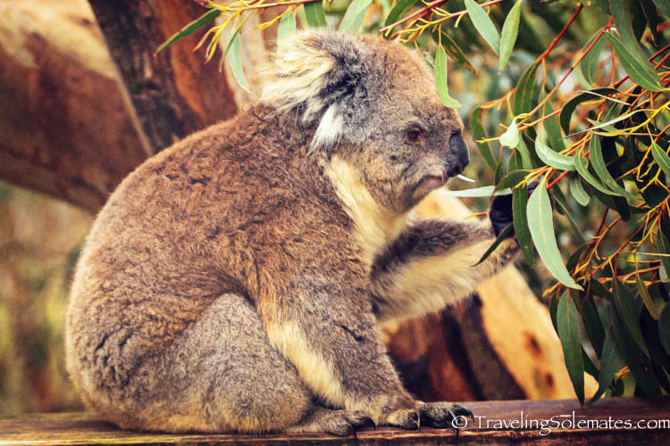 A Koala in Healesville Sanctuary, Yarra Valley, Victoria, Australia