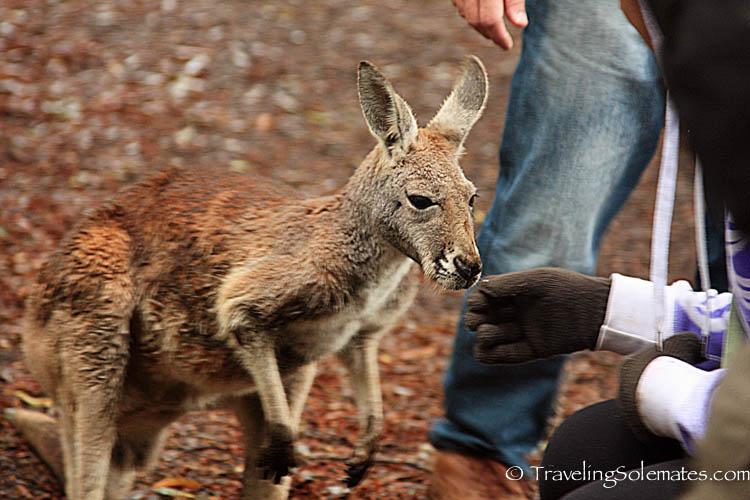 A Red Kangaroo in Healesville Sanctuary, Yarra Valley, Victoria, Australia