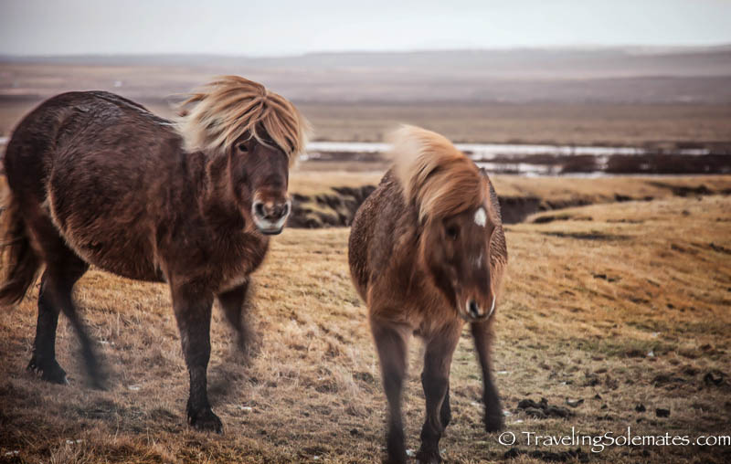 Horses of Iceland, Golden Circle Tour, Iceland