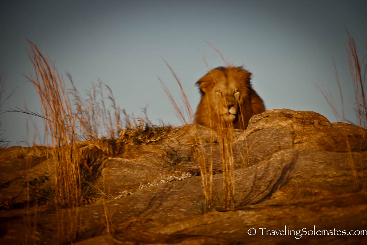 Lion on Safari in Kruger National Park, South Africa
