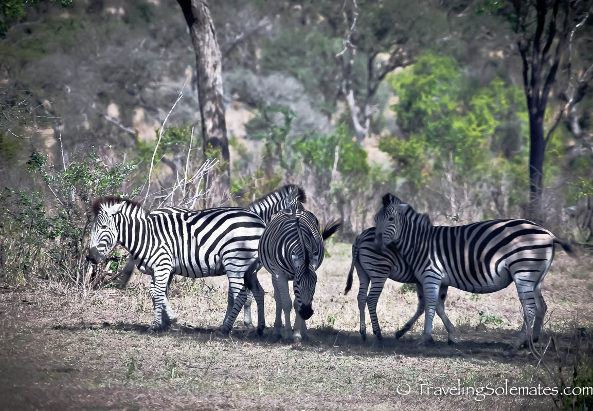 Zebras on Safari in Kruger National Park, South Africa