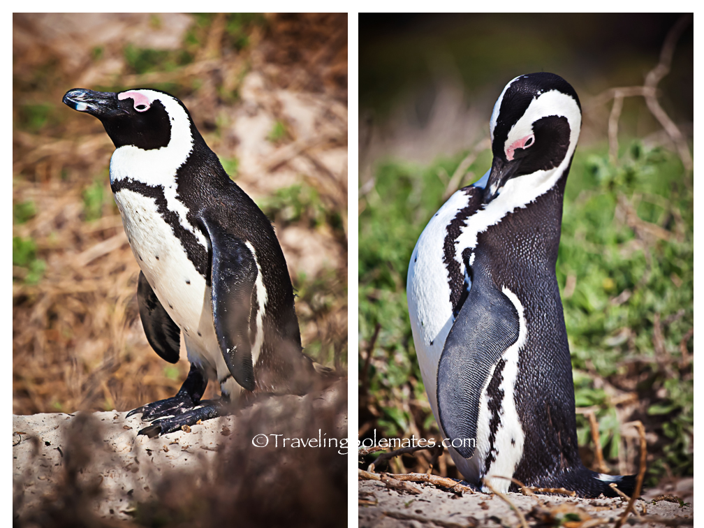 African Penguins in Boulder Beach, Cape Peninsula, South Africa
