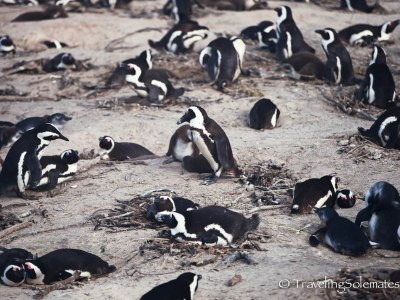 African Penguins, Boulder Beach, Cape Peninsula, South Africa
