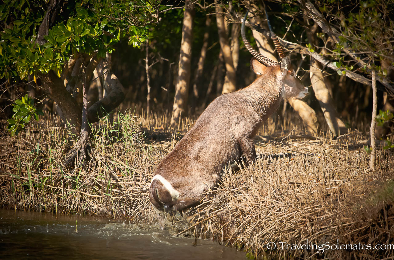 Waterbuck, St. Lucia Estuary, South Africa