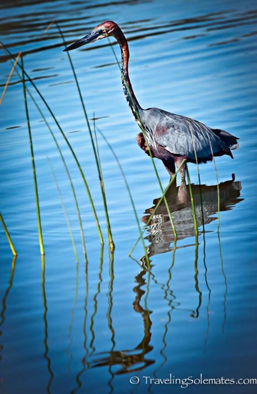 Heron, St. Lucia Estuary, South Africa