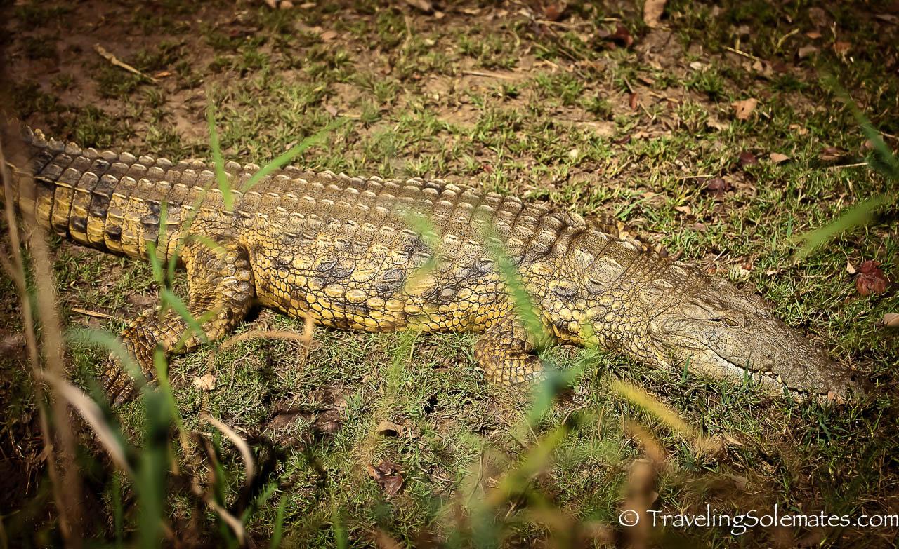 Crocodile, St. Lucia Estuary, South Africa