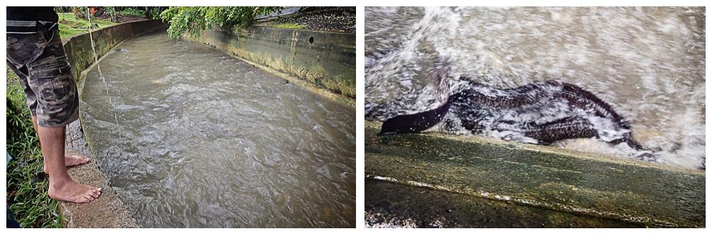Sacred Eel, Huahine, French Polynesia, South Pacific