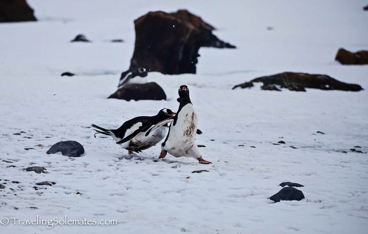 Penguins fighting in Brown Bluff, Antartica, National Geographic Explorer, Lindblad Expeditions