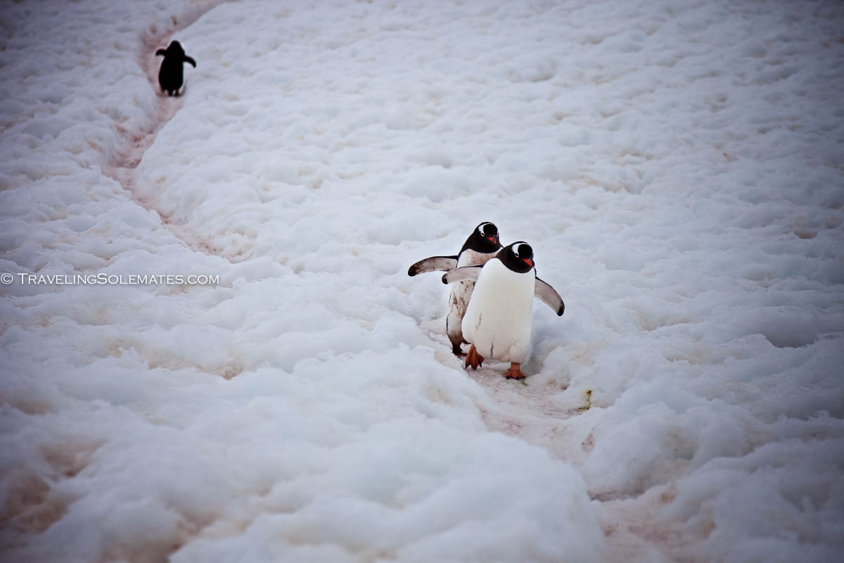 Gentoo Penguins, Hiking in Neko Harbor Mountains, Antarctica, National Geographic E