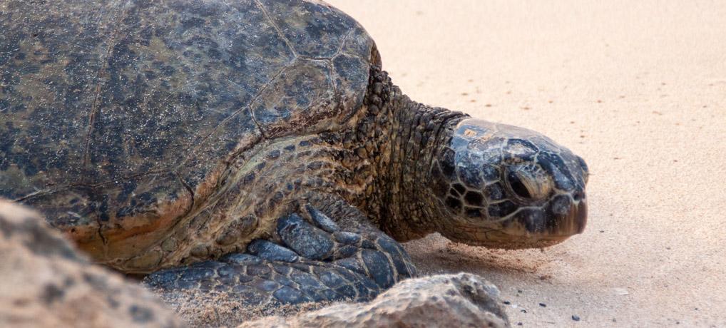 Schildkröten hautnah: Der Laniakea Beach  auf Oahu, Hawaii
