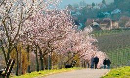 Rheinland-Pfalz-Almond-Blossoms © GNTB