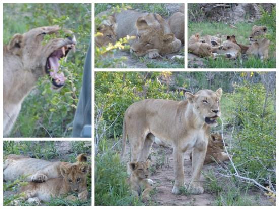 Löwenfamilie Nottensbushcamp