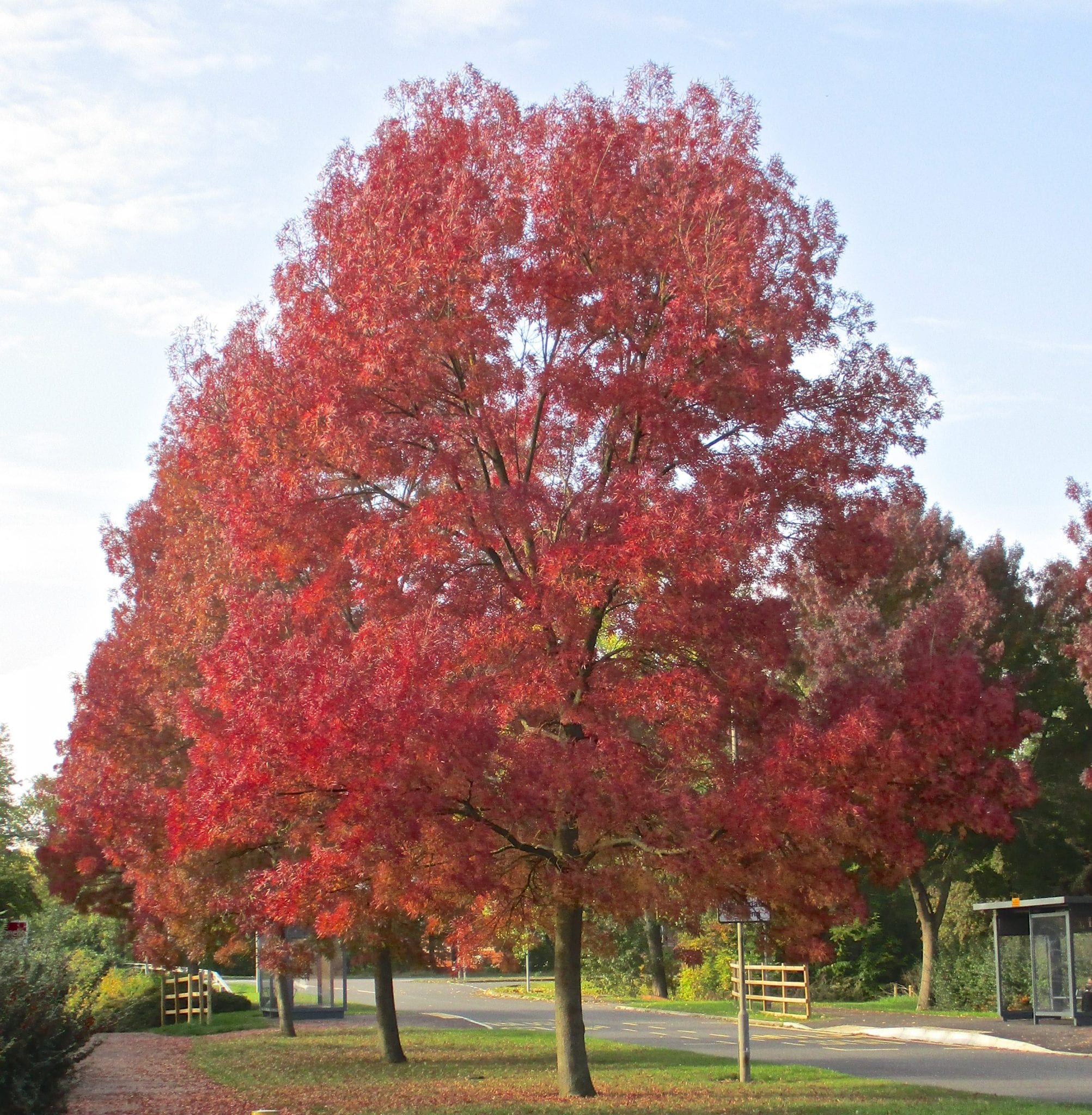 Contemporary On Where It Isplanted Claret Ash Is Now Very Common Its Spectacular Autumn Produced When Its Green Leavesturn Red Trees Parks Autumn Tree Guide Uk houzz-03 Autumn Purple Ash