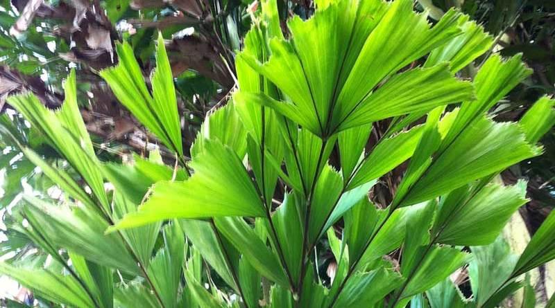 鱼尾葵 caryota mitis - green touch 香港常见树木图片