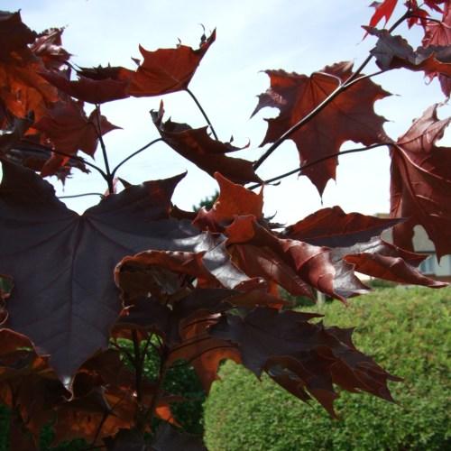 Medium Crop Of Crimson King Maple