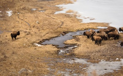 A Story of Traveling Bison