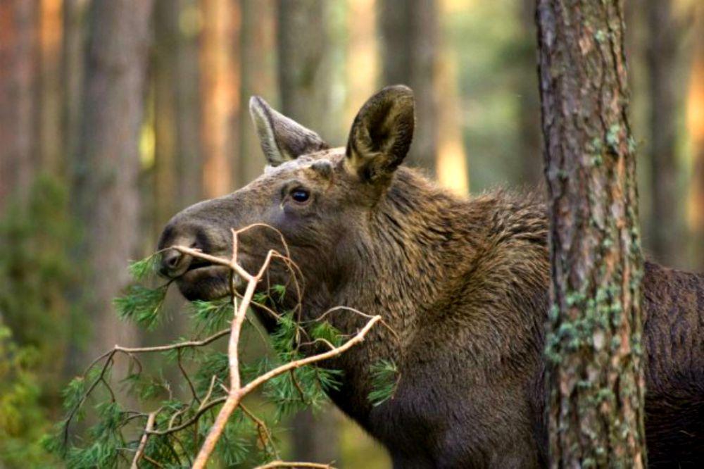 Eurasian elk - photo#10
