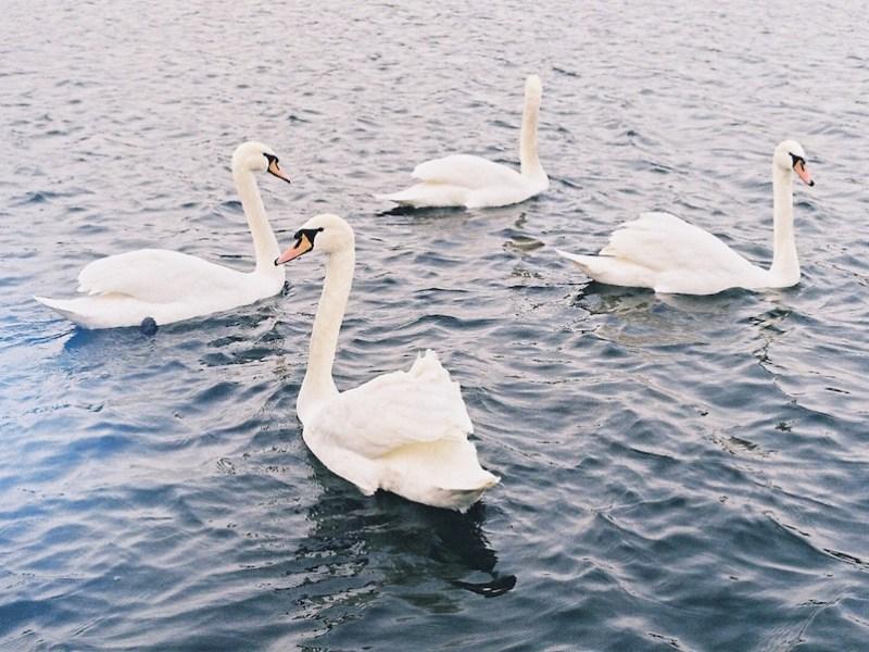 Swans-Tres-Bohemes