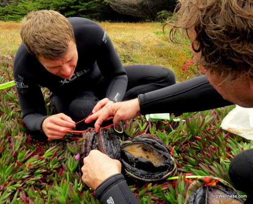 Tagging wild abalone.