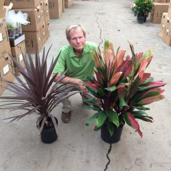 Small Of Cordyline Red Star