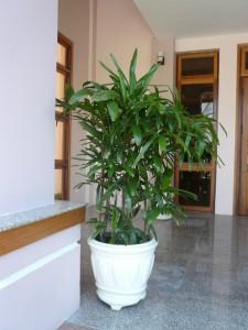Cây cảnh nội thất - cây Mật cật