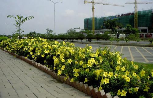 cây Huỳnh anh lá hẹp trồng thành bồn - cho hoa vàng rất đẹp