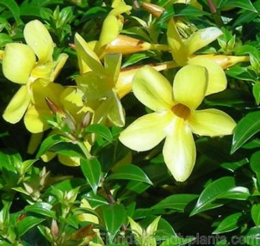 Tên khoa học Allanmanda neriifolia Hook.f.