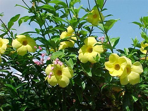 cây Huỳnh anh ( Dây huỳnh) -Allamanda cathartica L