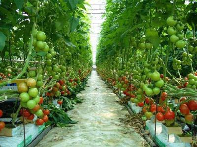 Cây cà chua được trồng theo luống