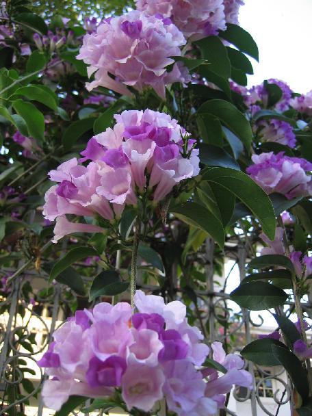cây ánh hồng leo trên cổng rào