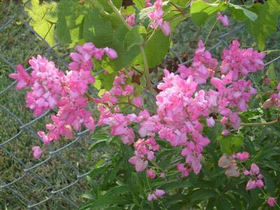 """hoa cây Ti gôn bám vào hàng rào, che đi những ô """"mắt cáo"""" trống rỗng của lớp lưới B40."""