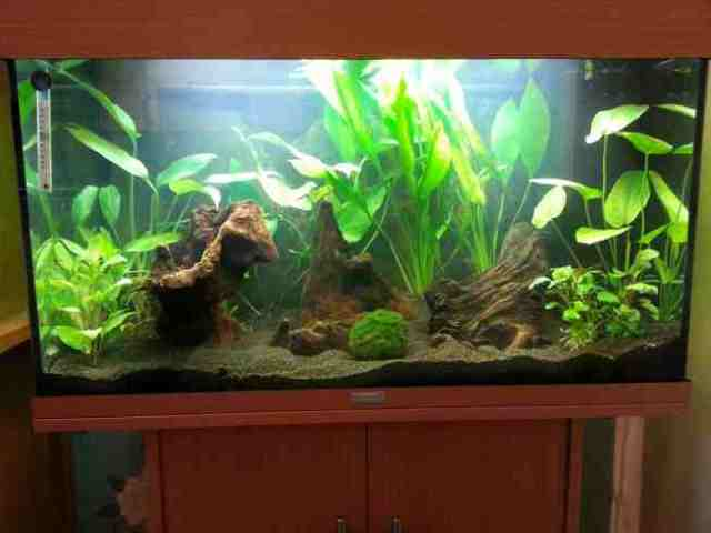 Planted Freshwater Community Tank | Tropical Fish Site