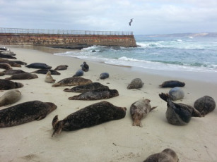 """Massive die-off of sea lions along the west coast has left scientists """"baffled."""" Might it have something to do with the hundreds of tons of radioactive waste that has been pouring into the Pacific each day for four years?"""