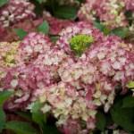 Snoeien van Hydrangea macrophylla, oftewel de Boeren Hortensia