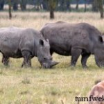 Western Black Rhino Of Africa Officially Extinct