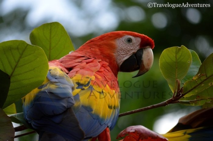 Scarlet Macaw in Costa Rica Image