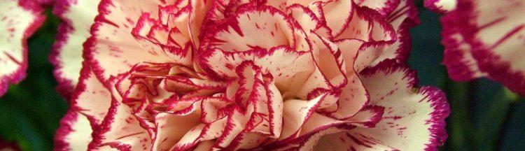 carnations_2