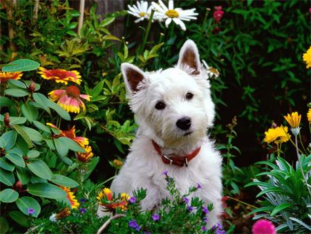 West Highland White Terrier (Westie)