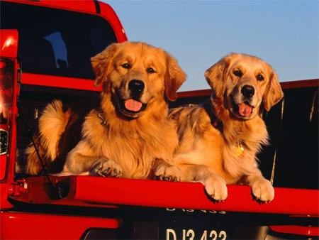 Golden Retriever Trucking