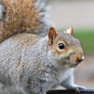 The Crazy Attic Squirrel Saga, Part 2