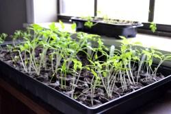 Intriguing Growing Seedlings My Veggie Garden Ugly Duckling House Growing Potatoes S A Bucket Growing Potatoes S Uk