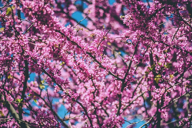 Little-Known Facts About Cherry Trees (1)