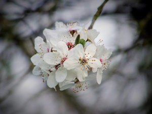 Little-Known Facts About Cherry Trees (2)
