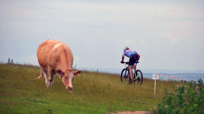Hadleigh-Park-cows-ESES-rnd-7