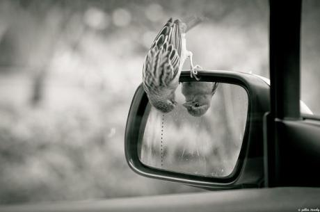 bird-looking-in-rear-view-mirror