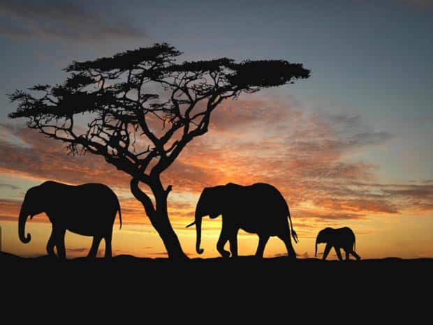 African Elephants in the Sunset