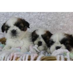 Regaling Sale This Is Tiny Little Boy Our Imperial Shih Tzu Daddies