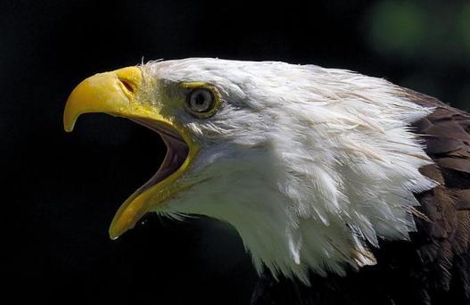 Bald Eagle.-Louis Blair Photography