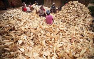 Women in Mozambique desheath a pile of corn. Photo: FAO/Paballo Thekiso