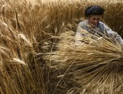 Photo: A farmer harvests his wheat crop in Bamyan, Afghanistan.